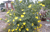 Island bush poppy in bloom