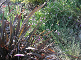 New Zealand flax with blue-eyed grass